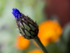 Budding flower (Andwar) Tags: blue flower macro ant bud