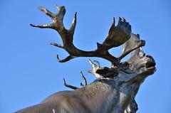 Beaumont-Hamel (Somme) - Mmorial Terre-Neuvien - Le caribou (Morio60) Tags: memorial 80 caribou picardie somme beaumonthamel terreneuvien