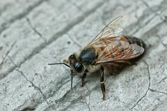 Al Final (José Ramón de Lothlórien) Tags: macro rayas insect jr bee muerte honey patas alas miel abeja pequeño miniatura insecto antenas ajos producciones pelitos microscopico diminuto agijon voldor