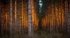 uk trees sunlight forest pinetrees firetree ilobsterit