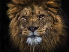 Lion (ibjfoto) Tags: animal copenhagen denmark zoo lion danmark animalplanet jensen ib københavn løve dyr københavns ibjfoto