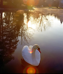 """Cincinnati – Spring Grove Cemetery & Arboretum """"Swan – Delivery For Me"""" (David Paul Ohmer) Tags: ohio cincinnati spring grove cemetery arboretum springgrovecemetery gravesites burial grounds death spirit soul deceased graveyard conservatory victorian gothic revival national historic landmark adolph strauch cemetary swan lens flare cross light autumn fall foliage seasons color leaf leaves leaflet"""