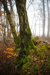 DSC00783 (Falcdragon) Tags: morning trees winter tree fog forest 50mm woods minolta sony af alpha a7 f17 ilce7