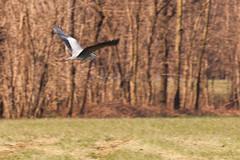 Airone In Volo (Claudio Paglia) Tags: wild bird nature animals fly nikon wildlife natura uccelli volo panning animali airone