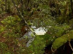 Forest foam on a tannin-stained stream (New Zealand Wild) Tags: newzealand wild brown green nature beautiful beauty creek photography moss rainforest scenery stream view gorgeous jungle foam stunning vista wilderness lush westcoast aotearoa mossy foamy nationalgeographic nativebush kumara tannin greatnature jungleriver turiwhate newzealandnature scenicnewzealand newzealandnaturephotography wildnewzealand newzealandgeographic stevereekie kawhakaforest newzealandwild wildaotearoa