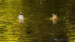 Central Park (WarpFactorEnterprises) Tags: winter spring pond centralpark seagull ducks burnaby 201415