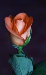 DSC_1497 Rose (PeaTJay) Tags: flowers roses plants macro nature rose gardens fauna reading flora indoors micro closeups berkshire rosebuds lowerearley nikond750