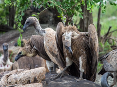 vultures (cosmonaut576) Tags: southafrica wildlife olympus safari pro 28 vulture imfolozi gamedrive geier 40150 omdem5 olympusmzuikodigitaled40150mm128pro