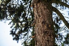 Vogel 2 (wildbam25) Tags: bird sony f28 vogel tanne 70200mm 40 ilce7m2