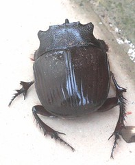 ecosystem/fauna/Dung Beetle(Catharsius molossus)-3? (biodiversity western ghats) Tags: coleoptera scarabaeidae insectindia diversityindia scarabaeinae