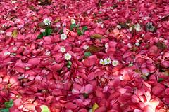 Xardn secreto - Secret garden (PacotePacote) Tags: santiago espaa flower alfombra garden spain rojo flor rosa galicia galiza compostela margarita camelia camellia jardn xardn
