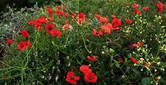 Coquelicots (delph.) Tags: fleurs poppies coquelicots