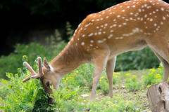 Morning Snack (rbsotirov) Tags: morning wild animal forest wildlife deer snack