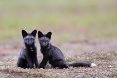 Red Fox Kits (Kenneth Kearney) Tags: kits foxes fox washington sanjuanisland