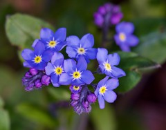 forget me not (explored) (cseager40) Tags: blue wild flower