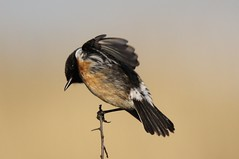 Common Stonechat    Saxicola torquatus (GrahamParryWildlife) Tags: new uk blue sky sunlight plant male bird up field animal sport photo kent flickr dof outdoor sigma add 7d mk2 dungeness marsh viewing depth plumage rspb stonechat kentwildlife 150600 grahamparrywildlife