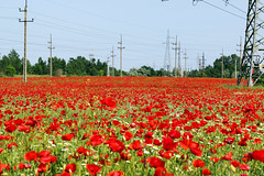 Ponceau field (Majorimi) Tags: blue red sky flower color colour tree green industry nature beautiful field grass digital canon eos nice wire flora colorful hungary calm pole poppy electricity ponceau 70d