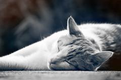 Dare To Dream Big (preze) Tags: pet male monochrome animal tom cat feline outdoor kitty dreaming dreams katze schlafen housecat haustier kater tier tomcat traum trumen hauskatze monochron canoneosm3 efm55200