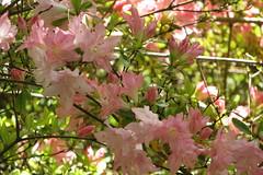 Pink Azalea (jackiebishop2005) Tags: pink tree green gardens swansea wales blossom south azalea clyne
