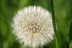 3-IMG_1452 (hemingwayfoto) Tags: blhen blte blume lwenzahn pusteblume weis