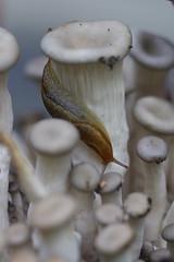 Found Slugs in my Mushrooms (thewanderingkittycat) Tags: plants mushroom canon garden mushrooms outside growing compost slugs