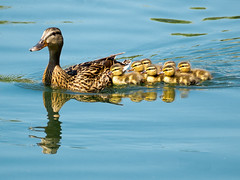 Mallard Family (Bridgeport Mike) Tags: baby duck ducklings mallard p5270009