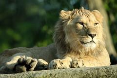 Parc zoologique de Vincennes 09.06.2016 0J5A7695 (MUMU.09) Tags: france animal lion 100400mm vincennes flin panthera felidae pantherinae liondelatlas canoneos7dmarkii pantheraleopolpi mumu09 parczoologiquedevincennes090620160j5a7699