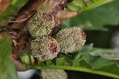 niyog niyogan (palm like fig) (DOLCEVITALUX) Tags: fruits fruit fauna flora philippines medicinalplants niyogniyogan lubilubi philippinefig palmlikefig