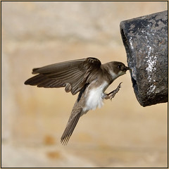 Sand Martin (image 1 of 3) (Full Moon Images) Tags: bridge bird nature saint st river flying sand martin nest wildlife great pipe flight chapel ouse cambridgeshire ives