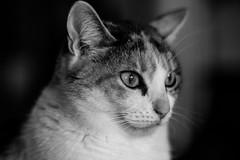 Maskat the Cat (Nikan Likan) Tags: portrait white black paris up field zeiss cat vintage lens 50mm prime close jena mount mc german carl manual praktica depth | 2016 prakticar maskat 18 14