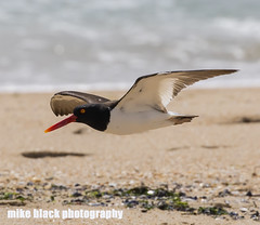 Oystercatcher in FLight at NJ shore (Mike Black photography) Tags: ocean new white black bird beach mike nature canon photo big sand year birding nj shore jersey dslr 5ds wnged