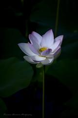 Lotus flower (Tomohiro Urakawa) Tags: flower lotus nagasaki