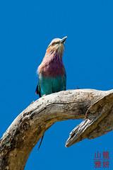 Lilac-breasted Roller (Coracias caudatus) (DragonSpeed) Tags: africa bird tanzania safari lilacbreastedroller tarangirenationalpark coraciascaudatus africanwildcatsexpeditions tzday01