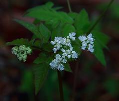 Sweet Cicely (roadside wildflower) - Boxley Valley, Northwest Arkansas (danjdavis) Tags: flower whiteflower arkansas wildflower boxleyvalley sweetcicely whitewildflower