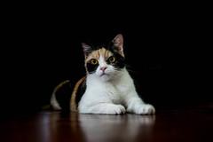 Calico Cat (Aadil Chouji Schiffer) Tags: pet cats pets white black animal animals yellow digital cat 35mm lens prime persian kitten cross kitty domestic calico f18 dslr nikondigital 35mmf18 primelens lence fastprime nikondsl nikond3300 d3300 pricelence