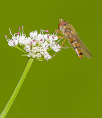 Hoverfly - Episyrphus balteatus (Graham Dash) Tags: painshillpark painshill cobham surrey insects hoverflies episyrphusbalteatus macro tamron90mm28macro