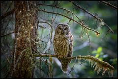 Barred Owl (Pius Sullivan) Tags: trees light sunlight green bird nature canon forrest r owl 5ds