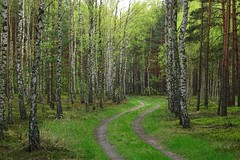 spring in the birch forest (JoannaRB2009) Tags: forest woods birch tree trees nature green spring path road las mianw dzkie lodzkie polska poland