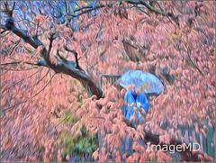 Blue Umbrella (ImageMD) Tags: japan umbrella cherry kyoto blossom buddhist zen sakura impression topaz