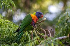 Rainbow lorikeet (robertdownie) Tags: color colour bird leaves leaf rainbow seed lorikeet parrot australia nsw pods trichoglossus moluccanus