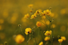 dancing flowers (Deirdre moments (busy studying/ catching up)) Tags: sunlight macro nature yellow closeup canon buttercup eveningsun bokeh may natuur naturallight ranunculus deirdre mei geel eveningwalk zonlicht macrolens 2016 boterbloemen avondzon avondwandeling natuurlijklicht eijsderbeemden canon7dmarkii canon7dmii canond7mark2 deirdremoments