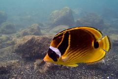 Kailua Pier Diving - III (Anders Magnusson) Tags: sea fish water hawaii snorkel dive diving olympus thebigisland kailua kailuakona andersmagnusson