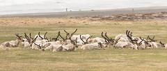 Reindeer - Rangifer tarandus - Hreindr (*Jonina*) Tags: reindeer iceland mammals sland wildanimals breidalsvk rangifertarandus hreindr breiddalsvik spendr villtdr jnnagurnskarsdttir