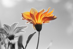Shine with the first light of the morning.. (chandra.dheeraj) Tags: light orange plant flower nature canon shine petal