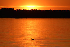When the day is done (Ib Aarmo) Tags: sunset water sea fjord bird duck colors outdoor nature