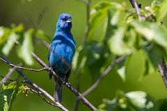 IndigoBunting_53F5859-Edit (~ Michaela Sagatova ~) Tags: canon wildlife indigobunting michaelasagatova