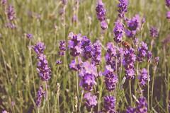 Dreaming of summer (Pics4life.nl off and on next week) Tags: light summer holland nature netherlands colors fauna flora purple nederland lavender natuur bee serene nl bij lavendel kleuren