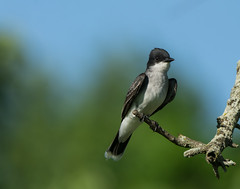 Eastern Kingbird at Centennial Park (Bonnie Ott) Tags: tyrannustyrannus easternkingbird flycatcher bonniecoatesott