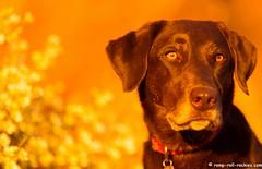 Secret Spot (KB RRR) Tags: dog utah desert redrock chocolatelabrador shyla
