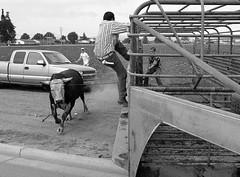 072504-sm-loose-bull-4 (Al Cerv) Tags: nobull bull rodeo salinas shotgun ragingbull ahibieneeltoro